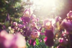 Schöne Iris blüht im Garten bei Sonnenuntergang Stockbild