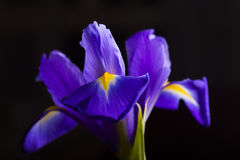 Schöne Iris der Nahaufnahme auf schwarzem Hintergrund Stockbilder