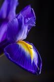 Schöne Iris der Nahaufnahme mit Wasser fällt auf schwarzen Hintergrund Lizenzfreie Stockfotografie