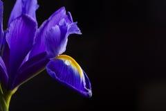 Schöne Iris der Nahaufnahme mit Wasser fällt auf schwarzen Hintergrund Stockfoto