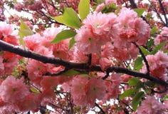 Schöne Japanerkirschblüte-Blumen Lizenzfreie Stockfotografie