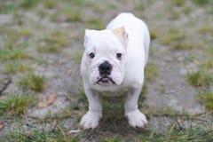 Schöne junge Bulldogge auf Sand Stockfotografie