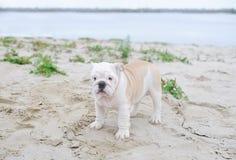Schöne junge Bulldogge draußen Lizenzfreie Stockfotografie