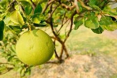 Junge Pampelmusenfrucht stockfotografie