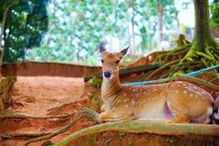 Schöne junge Rotwild, die im Baumschatten sich entspannen Stockbild