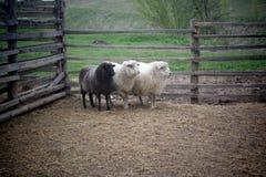 Schöne junge Schafe auf einem Bauernhof hinter einem Bretterzaun auf einem Hintergrund des schönen ukrainischen Landes Lizenzfreies Stockfoto