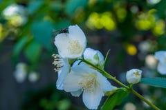 Schöne junge weiße Jasminblume auf dem Busch im Garten Lizenzfreie Stockfotos