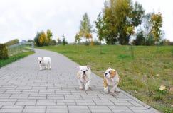 Schöne junge Welpen der Bulldogge Stockfotos