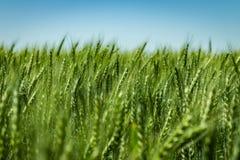 Schöne Köpfe des Weizens in der Sonne stockfotografie