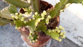 Schöne Kaktusblume stockfotografie
