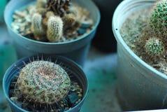 Schöne Kaktuspflanze im Topf Stockfotos