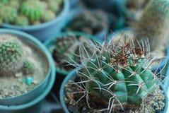 Schöne Kaktuspflanze im Topf Stockbild