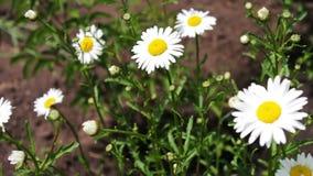 Schöne Kamille blüht in einem Garten und beeinflußt in den Wind Art des Sommers, Blumenfelder, Wiese der wilden Blume, Botanik stock video footage