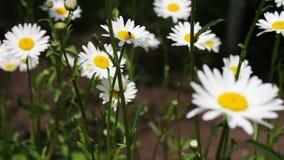Schöne Kamille blüht in einem Garten und beeinflußt in den Wind Art des Sommers, Blumenfelder, Wiese der wilden Blume, Botanik stock video