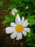 Schöne Kamille im Garten lizenzfreie stockfotos