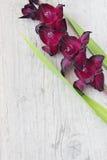 Schöne kastanienbraune Gladiole Lizenzfreies Stockfoto