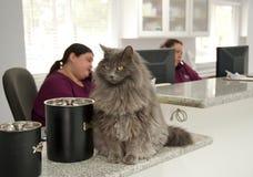 Schöne Katze an der Aufnahme eines Tierarztes Stockfoto