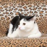 Schöne Katze, die auf Decke liegt Stockfotografie