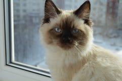 Schöne Katze, die auf einem Fenster mit blauen Augen sitzt stockbilder