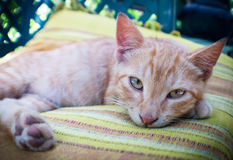 Schöne Katze, die auf Kissen sich entspannt Stockfotografie
