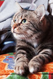 Schöne Katze, die auf Sofa sich entspannt Stockfotos