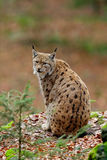 Schöne Katze eurasischer Luchs, der auf dem Felsen sitzt Lizenzfreies Stockbild