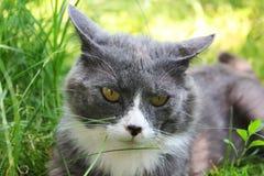 Schöne Katze liegt im Gras stockbild