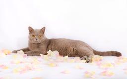 Schöne Katze liegt mit den rosafarbenen Blumenblättern Stockfoto
