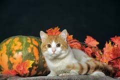 Schöne Katze mit Kürbis und Herbstlaub Lizenzfreie Stockfotos