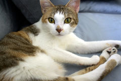 Schöne Katze mit reizenden Augen stockbild