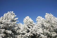 Schöne Kiefer im Winter Forest Frosty Winter Day Stockfotografie
