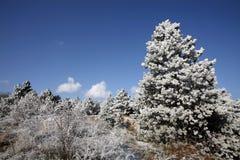 Schöne Kiefer im Winter Forest Frosty Winter Day Stockfotos