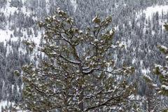 Schöne Kiefer mit frischem Schnee, Hintergrund des Koniferenwaldes Stockbild