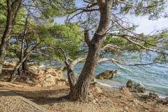Schöne Kiefer und das Ufer des blauen Meeres am Abend kroatien Lizenzfreie Stockbilder