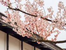 Schöne Kirschblüte-Blüte 5 Stockfotografie