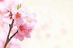 Schöne Kirschblüte-Blume Stockbild