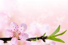 Schöne Kirschblüte-Blume Stockbilder