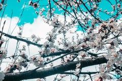 Schöne Kirschblüte-Blumenkirschblüte im Frühjahr Kirschblüte-Baumblume auf blauem Himmel lizenzfreies stockfoto