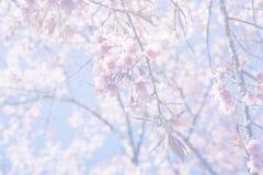 Schöne Kirschblüte im Nord von Thailand Lizenzfreie Stockfotografie