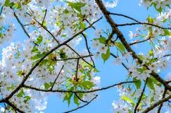 Schöne Kirschblüte in Japan stockbild