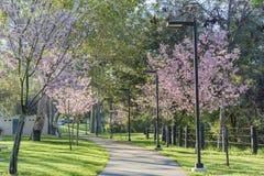Schöne Kirschblüte an regionalem Park Schabarum Stockbilder