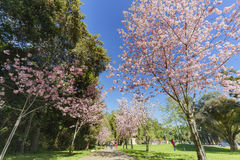 Schöne Kirschblüte an regionalem Park Schabarum Stockfotografie