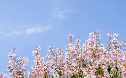 Schöne Kirschblüte, rosa Kirschblüte-Blume stockfoto