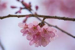 Schöne Kirschblüten Lizenzfreie Stockfotografie
