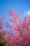 Schöne Kirschblüten stockbild