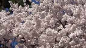 Schöne Kirschblüten stock footage