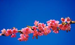 Schöne Kirsche oder Kirschblüte-Blüte auf blauem Himmel. Lizenzfreies Stockbild