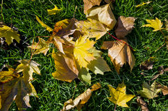 Schöne klare Herbstblätter auf einem grünen Gras Stockbild