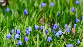 sch ne kleine blaue fr hlingsblumen stock footage video von garten floral 40441608. Black Bedroom Furniture Sets. Home Design Ideas