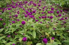 Schöne kleine purpurrote Blume im geheimen Garten Stockbild